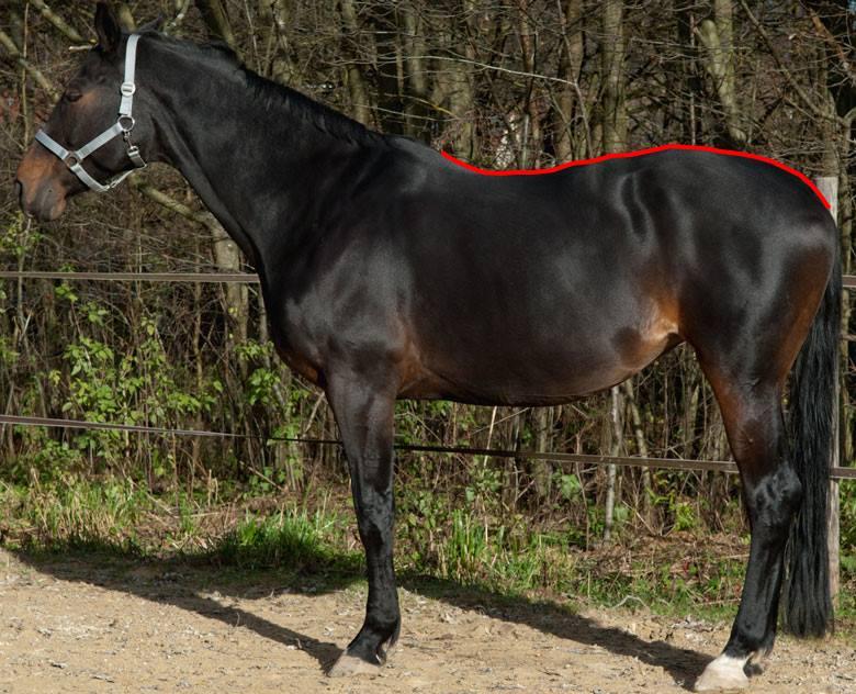 Wie ermittle ich die Größe eines Rückenwärmers für mein Pferd??