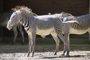 zebra-424442_640
